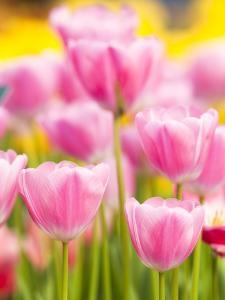 Light pink tulips by Frank Lukasseck