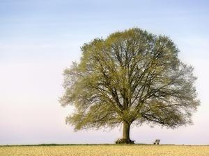 Oak Tree in a Field by Frank Lukasseck