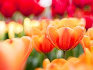 Orange and red tulips by Frank Lukasseck