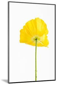 Poppy, Papaver Spec., Detail, Blossom, Yellow by Frank Lukasseck