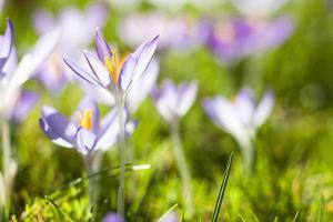 Purple Crocuses, Meadow, Blur by Frank Lukasseck