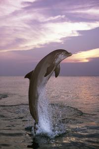 Sea, Ordinary Dolphin, Delphinus Delphis, Jump, Twilight, Series, Waters, Wildlife, Animal, Mammal by Frank Lukasseck