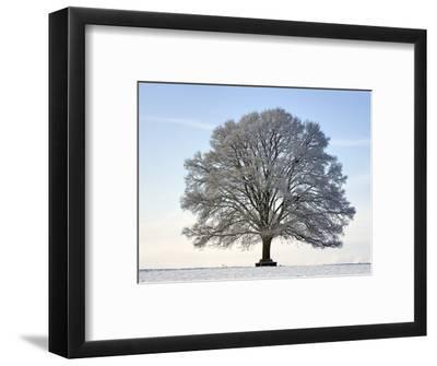 Snow-covered Oak Tree
