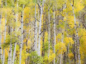 Stand of Aspens in autumn by Frank Lukasseck