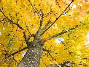 Sycamore Maple Tree by Frank Lukasseck