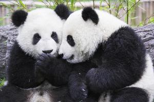 Two Panda Babies Interacting by Frank Lukasseck