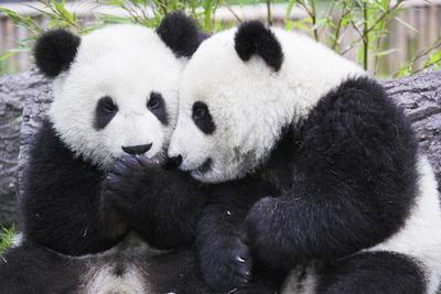 Two Panda Babies Interacting