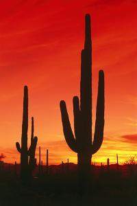 USA, Arizona, Saguaro National-Park, Landscape, Kakteen by Frank Lukasseck
