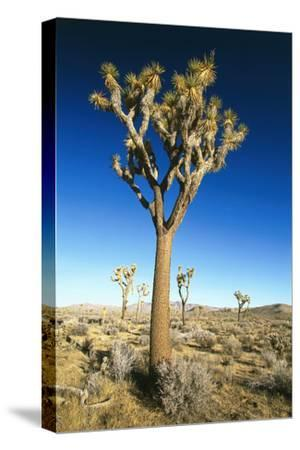 USA, California, Joshua Tree National-Park, Landscape, Trees