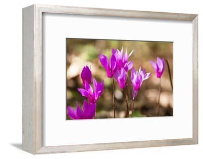 Wild Botanical Cyclamen Flowers