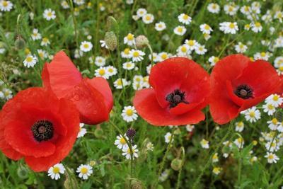 A Red Poppy Flowers