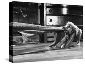 Cocker Spaniel Playing with Blanket by Frank Scherschel