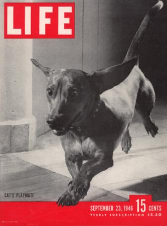 Dachsund Rudy Trotting Across Doorway in his Mexico City Home, September 23, 1946 by Frank Scherschel