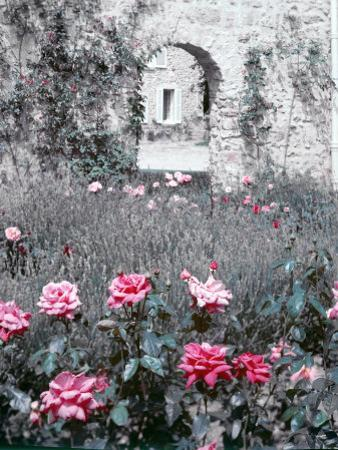 Roses in Fore in Duke of Windsor's Garden at His Summer Home in South of France