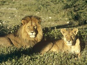 African Lion, Pair, East Africa by Frank Schneidermeyer