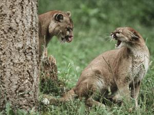 Mountain Lion, Male/Female Relationship, Washington by Frank Schneidermeyer