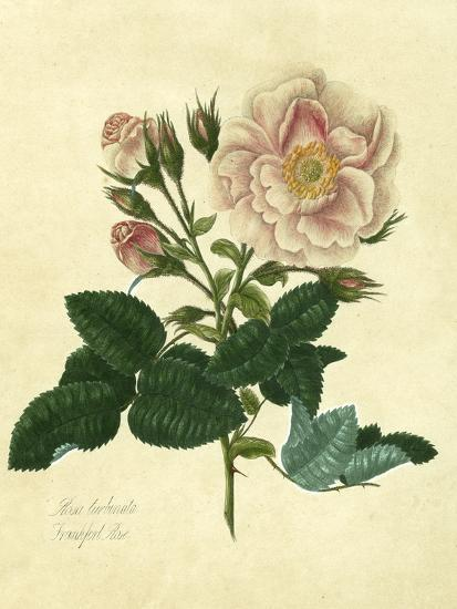 Frankfort Rose-Mary Lawrence-Art Print
