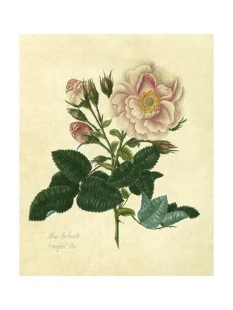 https://imgc.artprintimages.com/img/print/frankfort-rose_u-l-poilnm0.jpg?p=0
