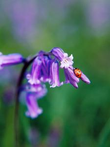 A Lady Bird on a Bluebell Plant by Frankie Angel