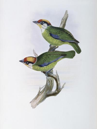 Franklin's Barbet-John Gould-Giclee Print