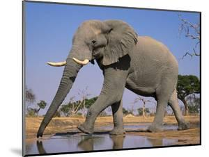 African Elephant at Waterhole, Loxodonta Africana, Chobe National Park, Botswana by Frans Lanting