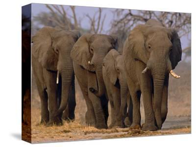 African Elephants Walking, Chobe National Park, Botswana