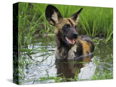 African Wild Dog Cooling Off in Water, Lycaon Pictus, Okavango Delta, Botswana