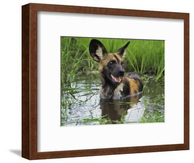 African Wild Dog Cooling Off in Water, Lycaon Pictus, Okavango Delta, Botswana