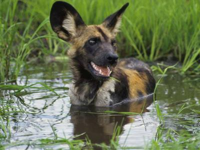African Wild Dog Cooling Off in Water, Lycaon Pictus, Okavango Delta, Botswana by Frans Lanting