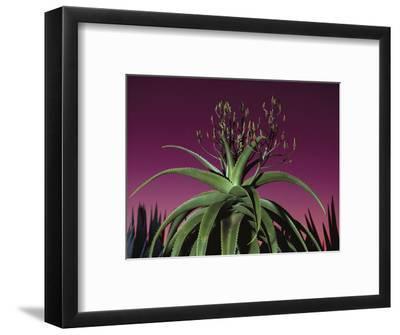 Aloe in Bloom, Aloe Vaombe, Southern Madagascar