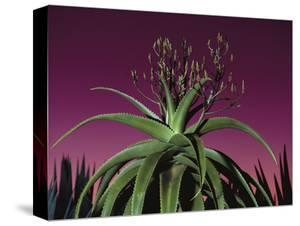 Aloe in Bloom, Aloe Vaombe, Southern Madagascar by Frans Lanting
