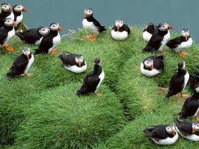 Atlantic Puffins on Grassy Cliff, Fratercula Arctica, Iceland by Frans Lanting