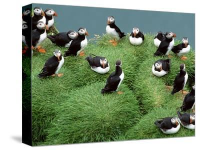 Atlantic Puffins on Grassy Cliff, Fratercula Arctica, Iceland