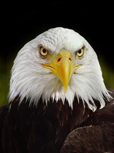 Bald Eagle, Haliaeetus Leucocephalus, California by Frans Lanting