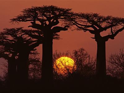 Baobabs in Winter, Adansonia Grandidieri, Western Madagascar by Frans Lanting