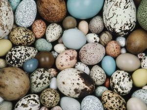 Bird Egg Collection, Western Foundation of Vertebrate Zoology, Los Angeles, California by Frans Lanting