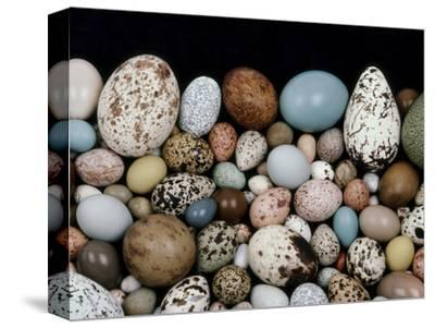 Bird Egg Diversity, Western Foundation of Vertebrate Zoology, Los Angeles, California