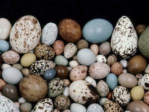 Bird Egg Diversity, Western Foundation of Vertebrate Zoology, Los Angeles, California by Frans Lanting