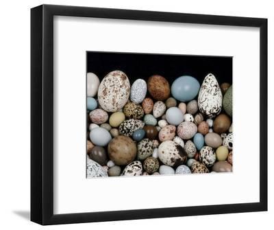Bird Egg Diversity, Western Foundation of Vertebrate Zoology, Los Angeles, California