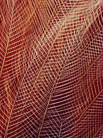 Bird of Paradise Tail Feathers, Paradisaea Raggiana, California Academy of Sciences, San Francisco