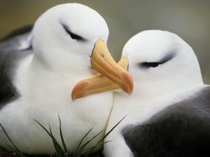 Black-Browed Albatrosses Courting, Thalassarche Melanophrys, South Georgia Island by Frans Lanting