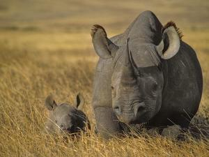 Black Rhinoceros with Young, Diceros Bicornis, Ngorongoro Conservation Area, Tanzania by Frans Lanting