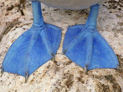 Blue-Footed Booby Feet, Sula Nebouxii, Galapagos Islands