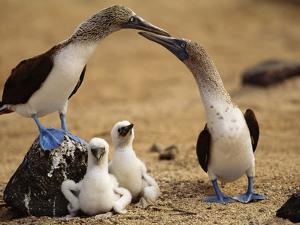 Blue-Footed Booby Pair with Chicks, Sula Nebouxii, Galapagos Islands by Frans Lanting