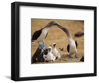 Blue-Footed Booby Pair with Chicks, Sula Nebouxii, Galapagos Islands