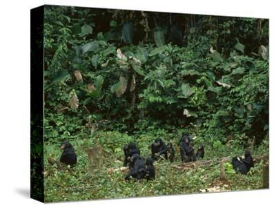 Bonobo Family Group in Forest Clearing, Pan Paniscus, Congo (DRC)
