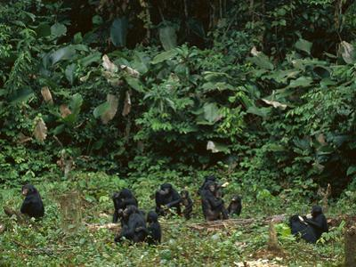 Bonobo Family Group in Forest Clearing, Pan Paniscus, Congo (DRC) by Frans Lanting