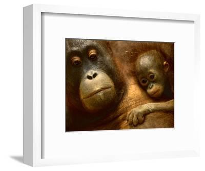 Bornean Orangutan Mother and Baby, Pongo Pygmaeus, Sepilok Reserve, Sabah, Borneo