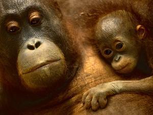 Bornean Orangutan Mother and Baby, Pongo Pygmaeus, Sepilok Reserve, Sabah, Borneo by Frans Lanting