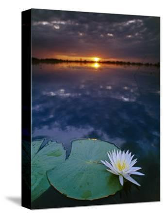 Day-Blooming Water Lily Closing at Sunset, Okavango Delta, Botswana